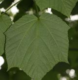javor střechovitý <i>(Acer tegmentosum)</i> / List