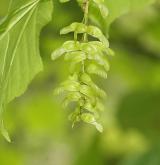 javor střechovitý <i>(Acer tegmentosum)</i> / Plod