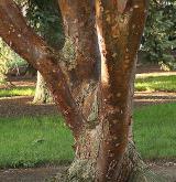 javor šedý <i>(Acer griseum)</i> / Borka kmene