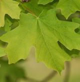 javor velkozubý <i>(Acer grandidentatum)</i> /