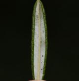 kyhanka sivolistá <i>(Andromeda polifolia)</i> / List