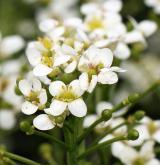katrán tatarský <i>(Crambe tataria)</i> / Květ/Květenství