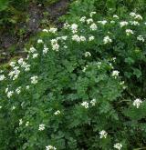 řeřišnice hořká <i>(Cardamine amara)</i> / Habitus
