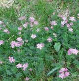 koprníček bezobalný <i>(Ligusticum mutellina)</i> / Habitus