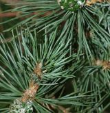 borovice blatka <i>(Pinus rotundata)</i> / List