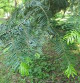 jedle grandis <i>(Abies grandis)</i> / List