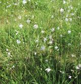 bělozářka větevnatá <i>(Anthericum ramosum)</i>