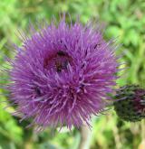 pcháč šedý <i>(Cirsium canum)</i> / Květ/Květenství
