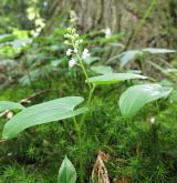 pstroček dvoulistý <i>(Maianthemum bifolium)</i> / Habitus