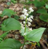 pstroček dvoulistý <i>(Maianthemum bifolium)</i>