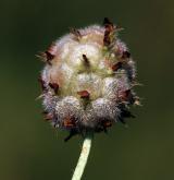 jetel jahodnatý <i>(Trifolium fragiferum)</i> / Plod