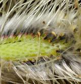 vrba Smithova <i>(Salix ×smithiana)</i> /