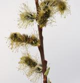 vrba Smithova <i>(Salix ×smithiana)</i> / Květ/Květenství