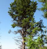 borovice limba <i>(Pinus cembra)</i> / Habitus