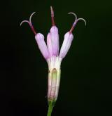 havez česnáčková <i>(Adenostyles alliariae)</i> / Květ/Květenství