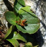 vrba bylinná <i>(Salix herbacea)</i>