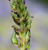 vrba uťatá <i>(Salix retusa)</i> / Květ/Květenství