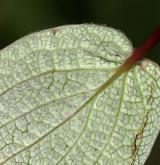 vrba síťnatá <i>(Salix reticulata)</i> / List