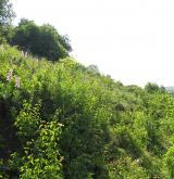 Suché bylinné lemy <i>(Geranion sanguinei)</i> / Porost