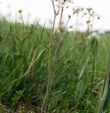 řeřišnice luční <i>(Cardamine pratensis)</i> / Habitus