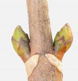 javor klen <i>(Acer pseudoplatanus)</i> / Větve a pupeny