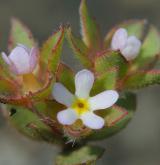 pochybek největší <i>(Androsace maxima)</i> / Květ/Květenství