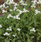 huseník alpský <i>(Arabis alpina)</i> / Habitus