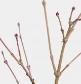 javor dlanitolistý <i>(Acer palmatum)</i> / Větve a pupeny