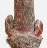 javor tatarský <i>(Acer tataricum)</i> / Větve a pupeny