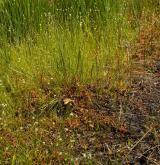 Mírně kyselá rašeliniště a rašelinné louky <i>(Caricion canescenti-nigrae)</i> / Porost