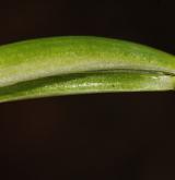 bledule jarní <i>(Leucojum vernum)</i> / List
