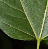 javor ďábelský <i>(Acer diabolicum)</i> / List