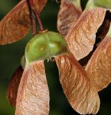 javor ďábelský <i>(Acer diabolicum)</i> / Plod