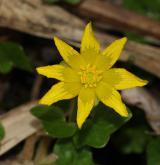 orsej jarní <i>(Ficaria verna)</i> / Květ/Květenství