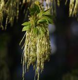 javor jasanolistý <i>(Acer negundo)</i> / Květ/Květenství