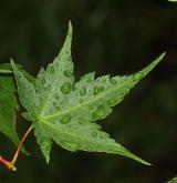 javor drobnokvětý <i>(Acer micranthum)</i> / List