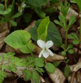 violka bílá <i>(Viola alba)</i> / Habitus