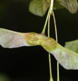javor význačný <i>(Acer argutum)</i> / Plod