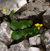 violka dvoukvětá <i>(Viola biflora)</i> / Habitus