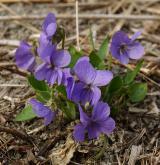violka srstnatá <i>(Viola hirta)</i> / Habitus