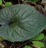 violka bílá <i>(Viola alba)</i> / List