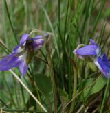 violka písečná <i>(Viola rupestris)</i> / Květ/Květenství