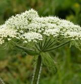 hladýš andělikový <i>(Laserpitium archangelica)</i> / Květ/Květenství