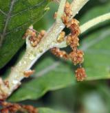 dub alžírský <i>(Quercus canariensis)</i> / Květ/Květenství