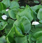 ďáblík bahenní <i>(Calla palustris)</i> / Habitus