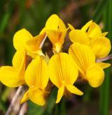podkovka chocholatá <i>(Hippocrepis comosa)</i> / Květ/Květenství