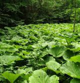 Vegetace horských a podhorských devětsilových niv <i>(Petasition hybridi)</i>