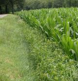 Pozdně letní teplomilná ruderální a plevelová vegetace písčitých půd <i>(Eragrostion cilianensi-minoris)</i> / Porost