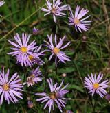 hvězdnice velkoúborná <i>(Aster scepusiensis)</i> / Květ/Květenství