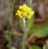 smil písečný <i>(Helichrysum arenarium)</i> / Květ/Květenství
